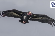 Step-Change in International Efforts to Conserve Vultures Takes Flight