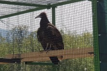 Spain gifted an Egyptian vulture to the Bulgarian nature!