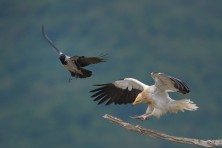 Photo was taken in the spring, when the Egyptian vultures are coming back from Africa. Four birds appeared simultaneously at the feeding station and with all forces and resources trying to impose as masters of the table. Battles are not passed and crows, © Kalin Botev