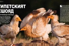 The Egyptian Vulture in BBC Knowledge