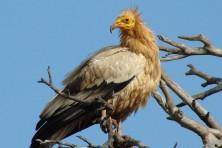 Egyptian vulture - WWF/P. Babakas