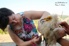 All of the adult Egyptian vultures with satellite transmitters are at their breeding grounds on the Balkans