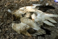 Bad news for Egyptian vultures in Spain