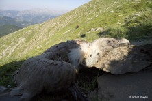 Poison baits are killing Greece's wildlife: three Griffon vultures poisoned