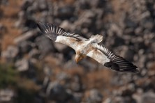This photo was taken at Gamla nature reserve in Israel. Each summer Egyptian vultures come to Gamla for nesting. Sometimes, with enough luck and patience it is possible to spot the vulture from rock cliffs above nature reserve's valley, © Artemy Voikhansky, Israel