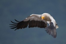 Public Consultation Exercise:  Draft Flyway Action Plan for the Conservation of the Balkan and Central Asian Populations of the Egyptian Vulture (EVFAP)