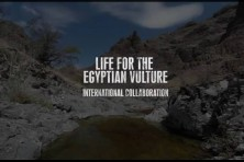 "The film ""Life for the Egyptian vulture – international collaboration"" won the second prize in the Environmental Film Festival of Albania"