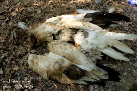 Egyptian vulture poisoned in Meteora. ©HOS/D. Vavylis
