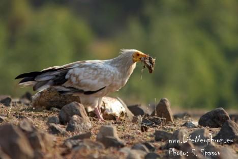 Egyptian vulture, photo: Svetoslav Spasov