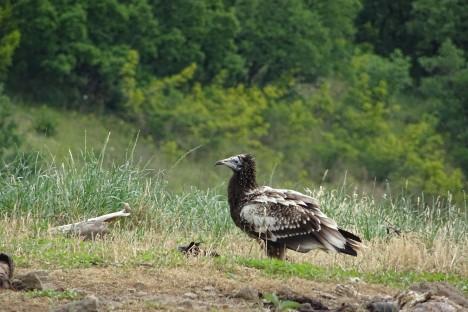 The Egyptian vulture Boyana on the feeding station © Volen Arkumarev
