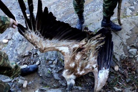 The electrocuted Griffon vulture (Sapes Forestry Service)