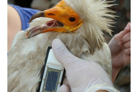 Boris - an adult male Egyptian vulture from Eastern Rhodopes, Bulgaria, tagged with satellite transmitter.