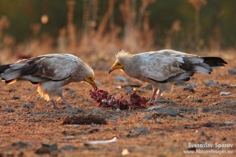 © Svetoslav Spasov, www.NatureImages.eu