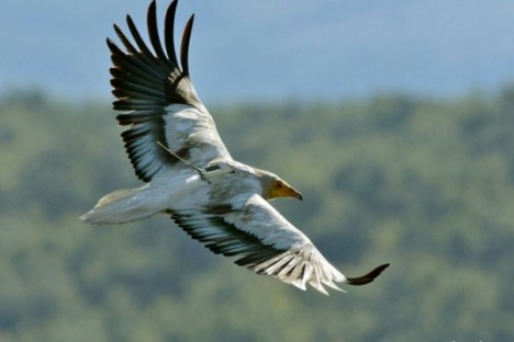 The Egyptian vulture Jenny tagged in Bulgaria in 2015 (photo: Pavel Stepanek)