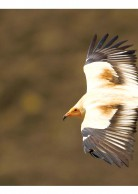 Postcard for the Egyptian Vulture (Greece)